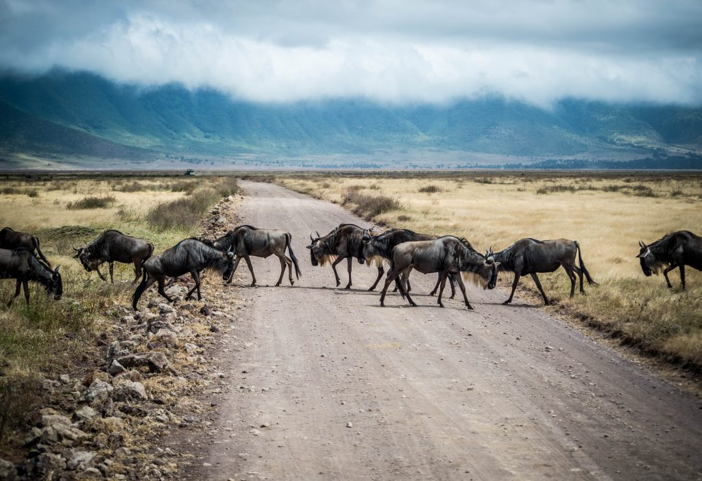 A herd of cattle walking down a dirt road  Description automatically generated