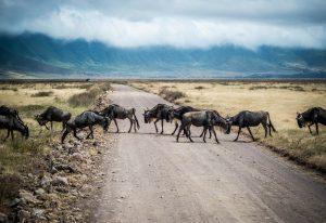 Wilderbeast migration serengeti